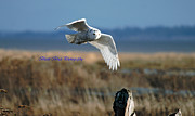 Ed Nicholles Acrylic Prints - Snowy Owl Dec 4 2012 Acrylic Print by Ed Nicholles