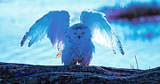 Ed Nicholles Acrylic Prints - Snowy Owl Drying After Bath Acrylic Print by Ed Nicholles