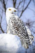 LeeAnn McLaneGoetz McLaneGoetzStudioLLCcom - Snowy Owl Hello Down there