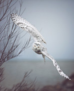 York Beach Framed Prints - Snowy Owl In Flight Framed Print by Carrie Ann Grippo-Pike