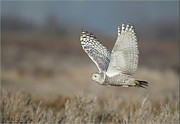 Canada Art Pyrography Prints - Snowy Owl in flight Print by Daniel Behm