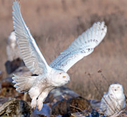 Ed Nicholles Acrylic Prints - Snowy Owl In Flight Acrylic Print by Ed Nicholles