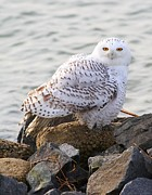 George Miller - Snowy Owl In New Jersey