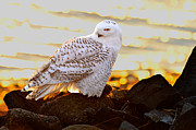 William Jobes - Snowy Owl in Setting Sun