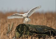 Canada Art Pyrography Prints - Snowy Owl Landing Print by Daniel Behm