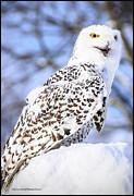 LeeAnn McLaneGoetz McLaneGoetzStudioLLCcom - Snowy Owl Look Out