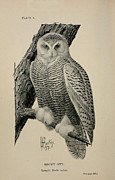 Snowy Drawings - Snowy Owl by Louis Agassiz Fuertes