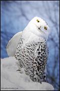 LeeAnn McLaneGoetz McLaneGoetzStudioLLCcom - Snowy Owl Mouse in Pocket