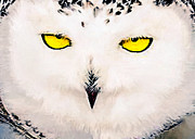 Nadine and Bob Johnston - Snowy Owl