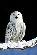 Canadian Wildlife Posters - Snowy Owl on a Twilight Winter Night Poster by Inspired Nature Photography By Shelley Myke