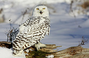 Shelley Myke Art - Snowy Owl on a Winter Hunt by Inspired Nature Photography By Shelley Myke
