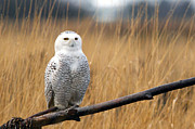 Snowy Owl Prints - Snowy Owl on Branch Print by Sharon  Talson
