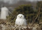 Amazing Jules - Snowy Owl on Cape Cod