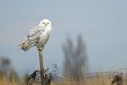 Snowy Owl Prints - Snowy Owl on Fence Post 2 Print by Sharon  Talson