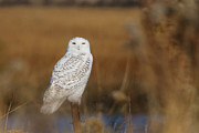 Stratford Photos - Snowy Owl Portrait by Stephanie McDowell
