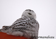 All - Snowy Owl by Sarah  Lalonde