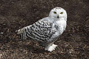 Steev Stamford Framed Prints - Snowy owl Framed Print by Steev Stamford