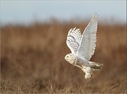 Daniel Behm - Snowy Owl taking flight