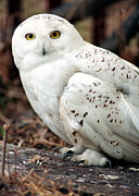 Snowy Owl Framed Prints - Snowy Owl Framed Print by Terry Elniski