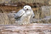 Snowy Owl Print by Tim Moore