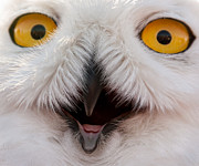 Snowy Owl Up Close And Personal Print by Laura Duhaime