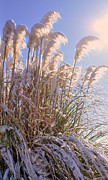 Lydia Holly - Snowy Pampas Grass