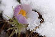 Pasqueflower Posters - Snowy Pasqueflower Poster by Dakota Light Photography by Nadene