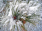 Snowy Pine Print by Aimee L Maher