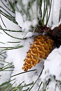 Conifers Prints - Snowy pine cone Print by Elena Elisseeva