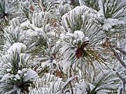 Snowy Pine Needles Print by Aimee L Maher