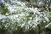Flakes Prints - Snowy pine needles Print by Elena Elisseeva