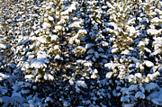 Winter Scenes Photos - Snowy Pine Trees by Terry Elniski