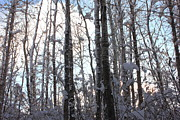 Forest Photos - Snowy Poplar Woods by Jim Sauchyn