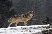 Wolf Photos - Snowy Ridge by Robert Weiman