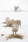 Wintry Posters - Snowy Sheep Poster by Anne Gilbert