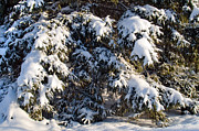Winter Scenes Photos - Snowy Spruce Tree 2 by Terry Elniski