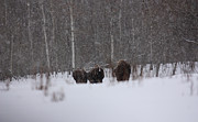 Bison Photos - Snowy Trail by Larysa Luciw