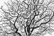 Winter Photos Framed Prints - Snowy Tree Black and White Framed Print by James Bo Insogna