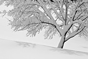Jay Nodianos Metal Prints - Snowy Tree Metal Print by Jay Nodianos