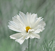 Garden Flowers Photos - Snowy White Cosmos by Kim Hojnacki