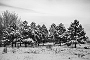 James BO  Insogna - Snowy Winter Pine Trees In Black and White