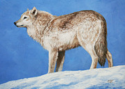 Wolves Metal Prints - Snowy Wolf Metal Print by Crista Forest