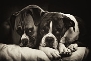 Boxer Art Framed Prints - Snuggle Bug Boxer Dogs Framed Print by Stephanie McDowell