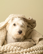 Blanket Posters - Snuggle Dog Poster by Edward Fielding