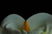 Calla Details Framed Prints - So close Framed Print by Marwan Khoury