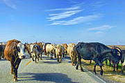 Cattle Drives Prints - So this is what Farm to Market Road means Print by Gary Holmes