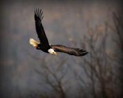 Soar Like An Eagle Print by Angel Cher