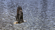 Hawk Photographs Prints - Soar Print by Thomas Danilovich
