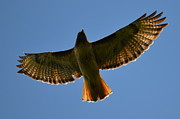Red Tail Hawk Originals - Soaring Above by Larry Peeler