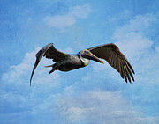 Brown Pelican Prints - Soaring By Print by Kim Hojnacki